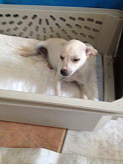 Chihuahua Dog for adoption in Shannon, Georgia - Taffy