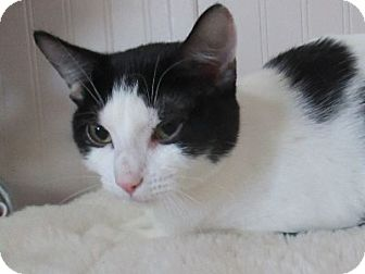 Domestic Shorthair Cat for adoption in Lloydminster, Alberta - Kira