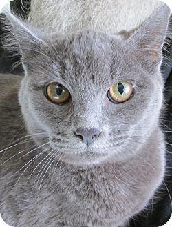 Russian Blue Cat for adoption in Buhl, Idaho - Salem
