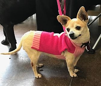 Chihuahua Mix Dog for adoption in Mission Viejo, California - Rhona