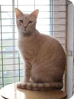 Domestic Shorthair Kitten for adoption in Carlisle, Pennsylvania - Sandy