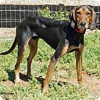 Adopt A Pet :: Dodger/ CourtesyPosting - Tucson, AZ