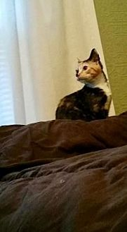 Domestic Shorthair/Domestic Shorthair Mix Cat for adoption in Columbia, South Carolina - Arwen