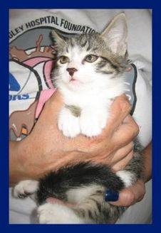 Domestic Shorthair/Domestic Shorthair Mix Cat for adoption in Jemez Springs, New Mexico - Trixie