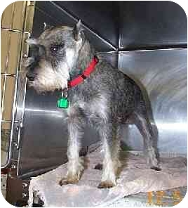 Miniature Schnauzer Dog for adoption in Naugatuck, Connecticut - Nelson