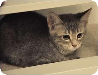 Domestic Shorthair Kitten for adoption in DeKalb, Illinois - Topeka