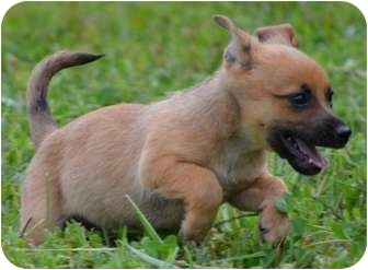 Cairn Terrier/Chihuahua Mix Puppy for adoption in Staunton, Virginia - Alvin
