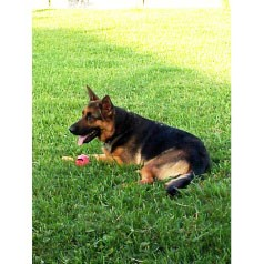 German Shepherd Dog Dog for adoption in Houston, Texas - Jazz