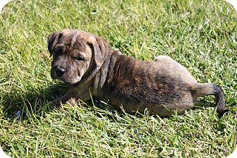 American Pit Bull Terrier Mix Puppy for adoption in West Palm Beach, Florida - JOSIE