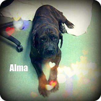 Neapolitan Mastiff Mix Dog for adoption in Miami, Florida - Alma