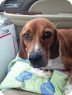 Coonhound/Beagle Mix Dog for adoption in Alamosa, Colorado - Bubba