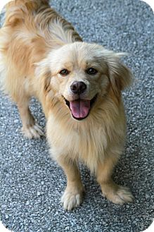 Retriever (Unknown Type)/Nova Scotia Duck-Tolling Retriever Mix Dog for adoption in Muskegon, Michigan - Lucius