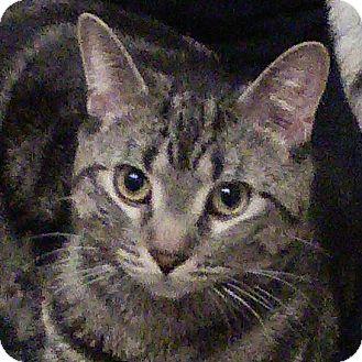 Domestic Shorthair Cat for adoption in Toronto, Ontario - Velcro
