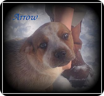 Great Dane/Boxer Mix Puppy for adoption in Denver, North Carolina - Arrow
