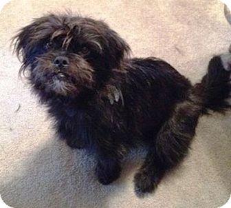 Affenpinscher Mix Dog for adoption in Allentown, Pennsylvania - Gypsy