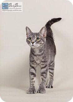 Domestic Shorthair Cat for adoption in Sauk Rapids, Minnesota - Fingers