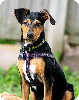 Labrador Retriever Mix Puppy for adoption in Grand Rapids, Michigan - Tucker