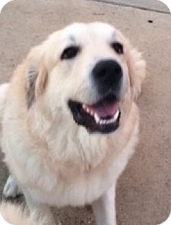 Great Pyrenees Dog for adoption in Brattleboro, Vermont - Izzy