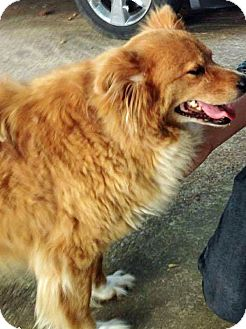 Golden Retriever Mix Dog for adoption in BIRMINGHAM, Alabama - Lady II
