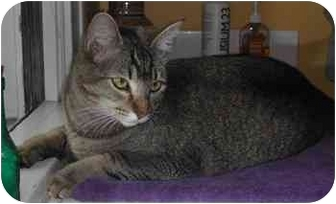Abyssinian Cat for adoption in Portland, Oregon - Slinky (inquisitive!)