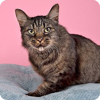 Domestic Shorthair Cat for adoption in Wilmington, Delaware - Christine