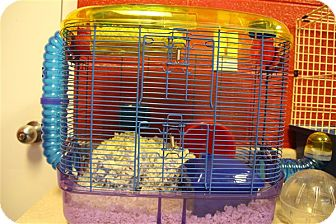 Hamster for adoption in Elyria, Ohio - Hamster