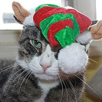 Domestic Shorthair Cat for adoption in Stevensville, Maryland - Anthem