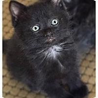 Adopt A Pet :: Mr. Big - Plymouth, MN