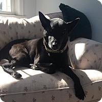 Adopt A Pet :: Abigail - Bluffton, SC