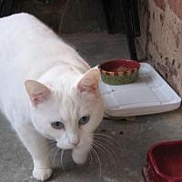 American Shorthair Cat for adoption in Winston-Salem, North Carolina - Cameo