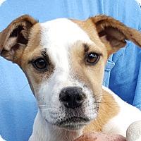 Adopt A Pet :: Sugar - Colonial Heights, VA