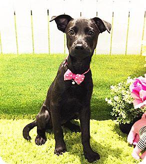 Labrador Retriever Mix Puppy for adoption in Castro Valley, California - Jana
