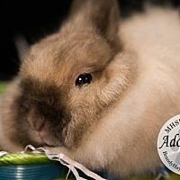 Adopt A Pet :: Rabbit 1 - Lake City, MI