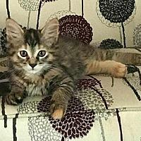 Adopt A Pet :: Batman - I am a girl! - Taylor, MI