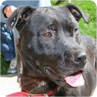 American Pit Bull Terrier Mix Dog for adoption in Berkeley, California - Bessie