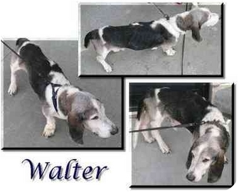 Basset Hound Dog for adoption in Marietta, Georgia - Walter