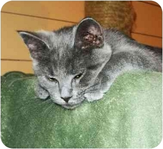 Russian Blue Kitten for adoption in Spencer, New York - Jeeves