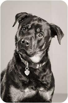 Rottweiler Dog for adoption in Portland, Oregon - Scout