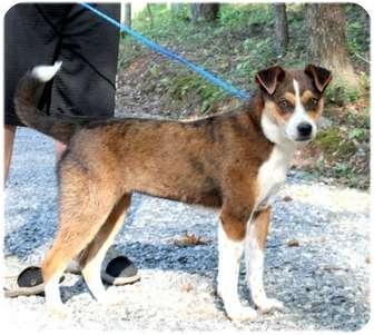 Australian Shepherd Mix Dog for adoption in Cleveland, Georgia - Sissy