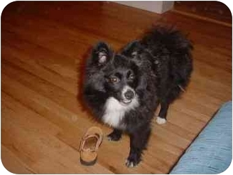 Pomeranian Puppy for adoption in Bernardsville, New Jersey - Chi Chi