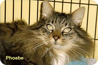 Domestic Longhair Cat for adoption in Medway, Massachusetts - Phoebe