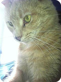 Domestic Shorthair Cat for adoption in Warminster, Pennsylvania - Ellie