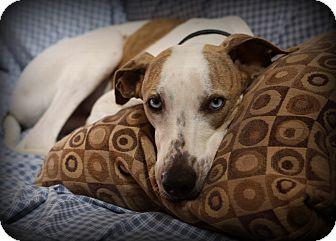 Greyhound Mix Dog for adoption in Algonquin, Illinois - Dugan