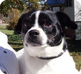 Boston Terrier/Chihuahua Mix Dog for adoption in Brattleboro, Vermont - Digby ($150 off)