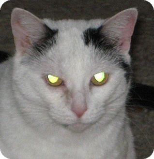 Domestic Shorthair Cat for adoption in Jacksonville, North Carolina - Scamper