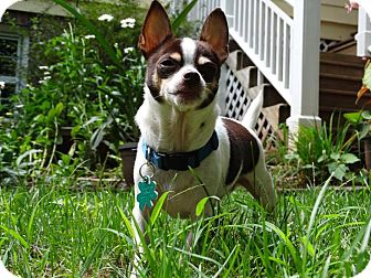 Chihuahua Dog for adoption in Alpharetta, Georgia - Bruce Lee