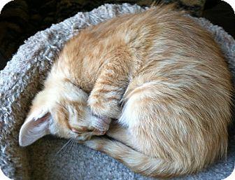 Domestic Shorthair Kitten for adoption in Greensburg, Pennsylvania - Noah