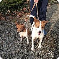 Adopt A Pet :: Nyla - Rhinebeck, NY