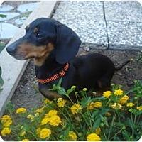 Adopt A Pet :: Harley - San Jose, CA