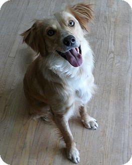Golden Retriever Mix Dog for adoption in Minneapolis, Minnesota - Johnny